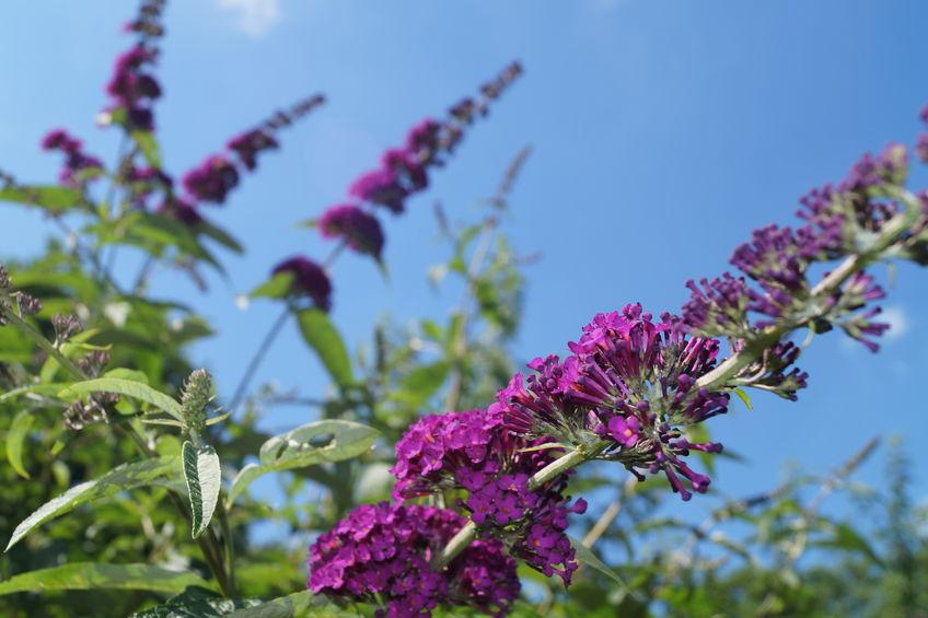 Snoeien vlinderstruik