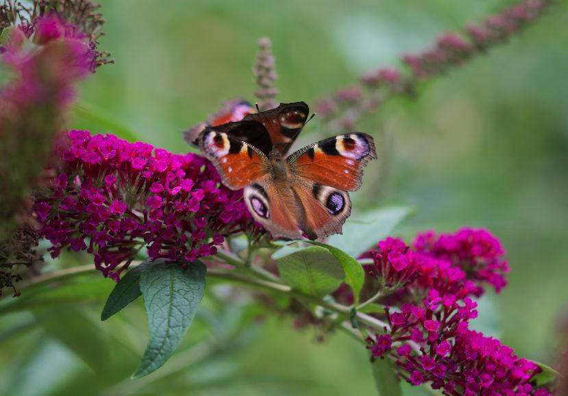 Vlinders op vlinderstruik