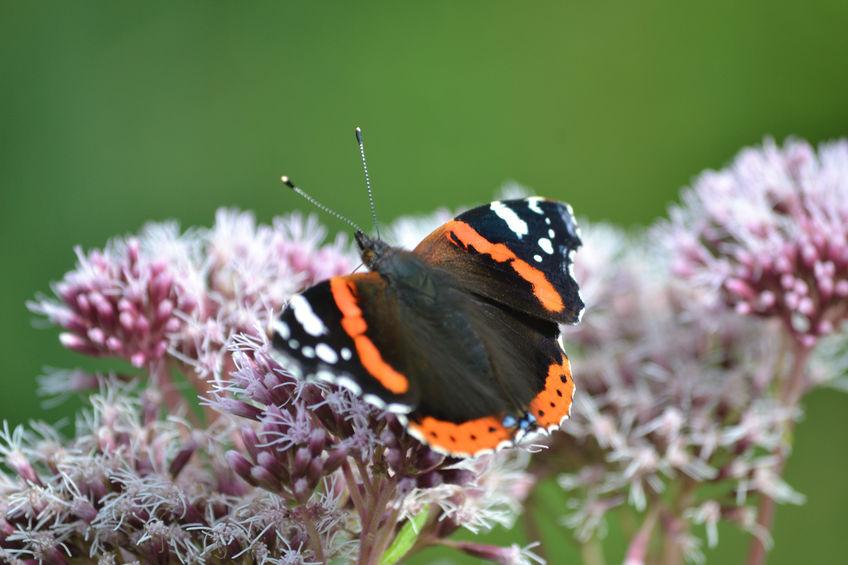 vlinderlokkende beplanting